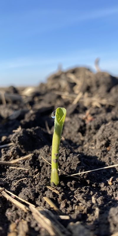 Corn sprout coming out of the soil.