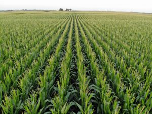 Corn rows.